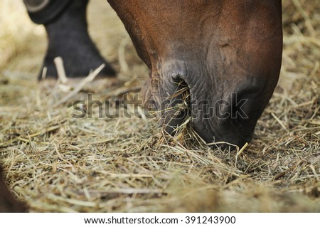 Horse eating hay close up  - stock photo