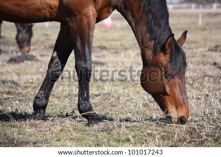 Horse eating old dry grass in early spring