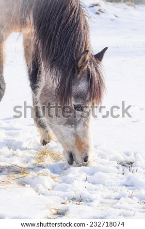 Horse eating snow