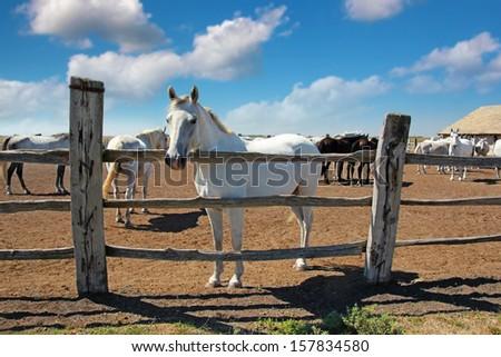 Horse Farm, Lipizzaner - stock photo