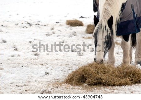 horse feeding on hay in a snow covered paddock (one of a series of pictures featuring cattle and horses in snow) - stock photo