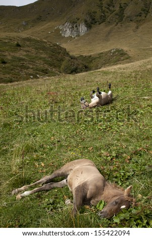 Horse foal (Equus caballus)  resting and  mule (Equus asinus x Equus caballus) scratching his own back - stock photo