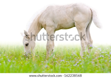 Horse foal graze in meadow on white background  - stock photo