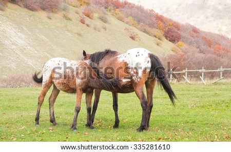 Horse foal suckling from mare in the autumn pasture - stock photo