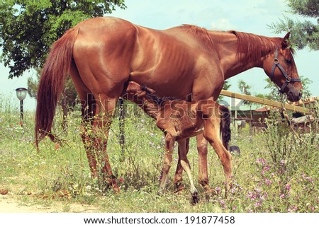Horse foal suckling from mare in the pasture - stock photo