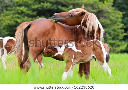 Horse foal suckling from mother in the pasture of Thailand  - stock photo