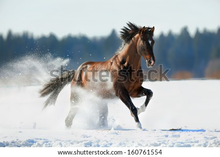 Horse gallops in winter - stock photo