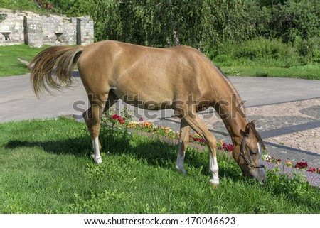 horse grazes on the lawn