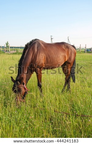 horse grazing on a rural meadow and eating grass