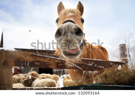 Horse haflinger waiting for hay. Funny animals. Winter on the farm. - stock photo