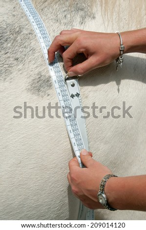 Horse having his weight measured using a special tape. - stock photo
