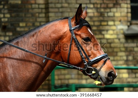Horse head in bridle