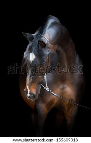 Horse head isolated on black, Trakehner dark bay horse. - stock photo