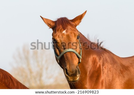 Horse Healthy Animal Horse chestnut animal closeup  detail outdoors