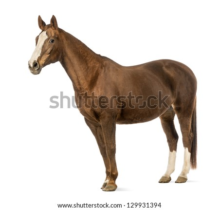 Horse in front of white background - stock photo