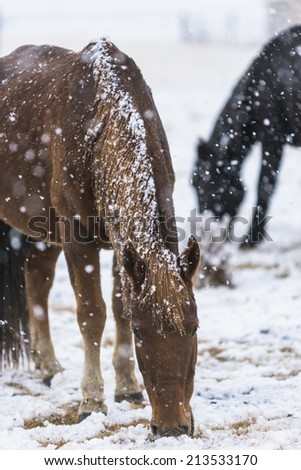 horse in snow, winter tiebet china. - stock photo