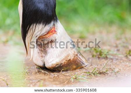 Horse limb injury.  - stock photo