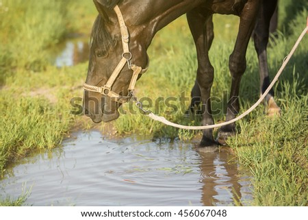 Horse looking in a puddle