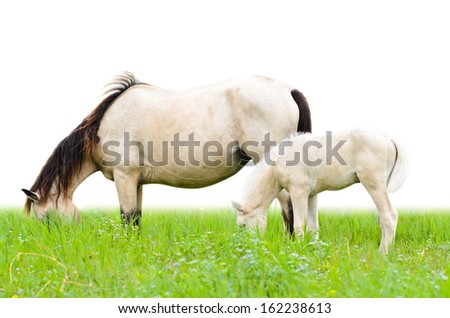 Horse mare and foal grazing in pasture isolated on white