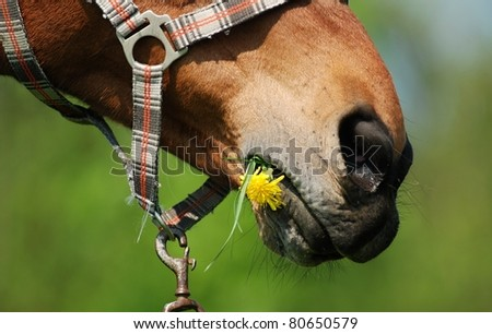 Horse mouth with dandelion