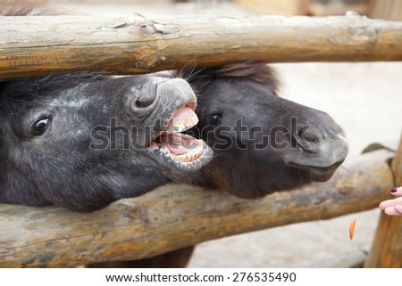 horse neighs - stock photo