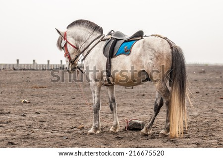 Horse of Mount Bromo Volcano, East Java, Indonesia - stock photo