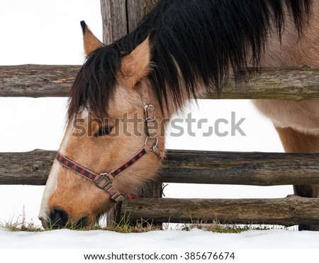 Horse on a winter day eating grass at pasture over a timber fence with snow white background - stock photo
