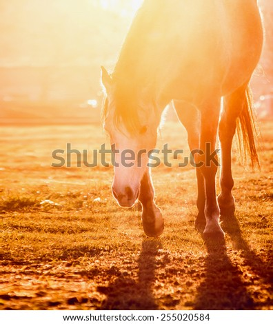 Horse on field at orange sunset light - stock photo