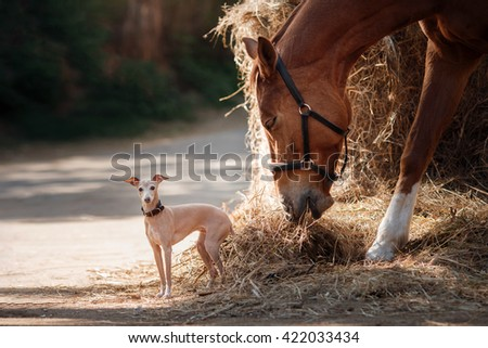 Horse on nature. Portrait of a horse, brown horse, horse stands in the paddock and dog breed Italian greyhound - stock photo
