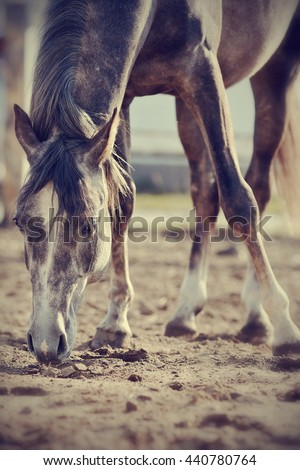 Horse on the walk, sniffing the ground. - stock photo