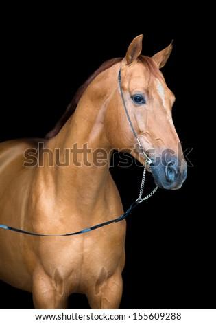 Horse portrait isolated on black, Don horse. - stock photo