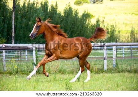 Horse portrait of a horse cantering in a green grassy paddock - stock photo