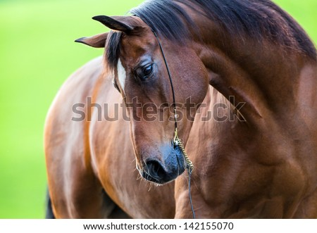 Horse portrait outside in field. - stock photo