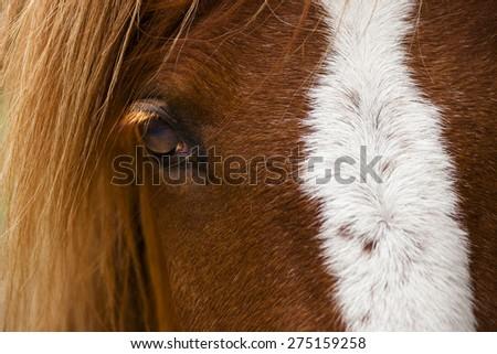 Horse Profile showing one eye. - stock photo
