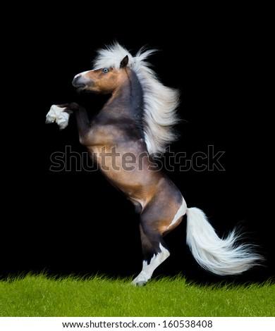 horse reared on black background, isolated, Miniature horse. - stock photo