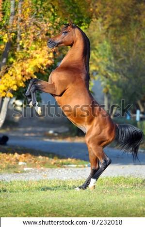 horse rearing up on golden autumn background - stock photo