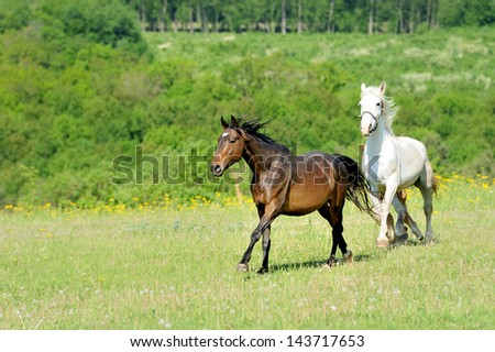 Horse running in the field in summer day