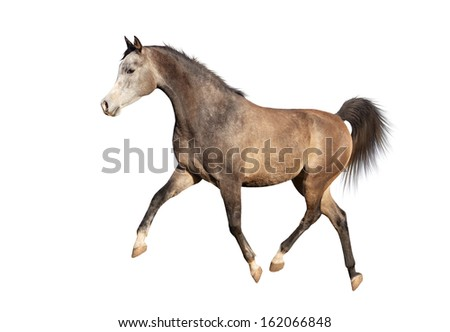 horse running trot on a white background.
