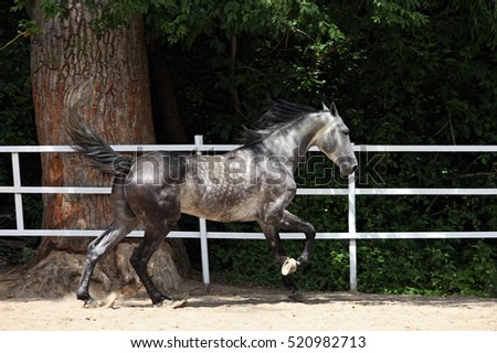 Horse running unbridled in corral surrounded by a white fence