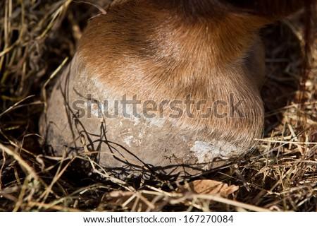 horse's foot - stock photo