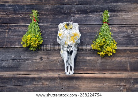 horse skull cranium and two bunch medical St Johns wort flowers on old wooden farm wall - stock photo
