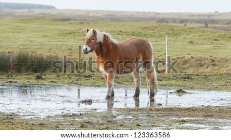 Horse standing in a pool after days of raining, Holland