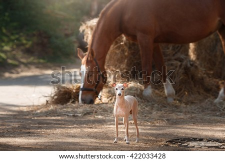 horse stands in the paddock and dog breed Italian greyhound