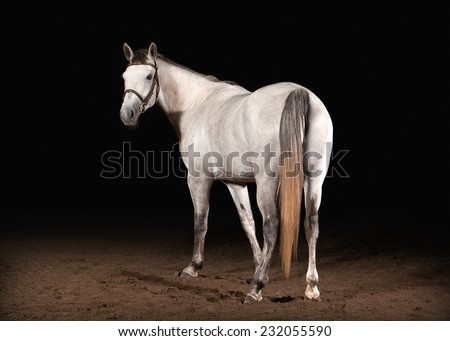 Horse. Trakehner gray color on dark background with sand