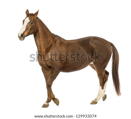 Horse walking in front of white background - stock photo