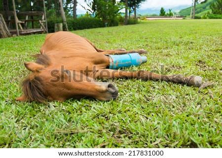 Horse with a broken leg in a car crash - stock photo