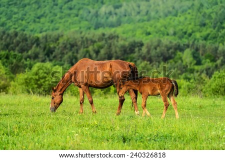 Horse with foal grazing in the pasture - stock photo