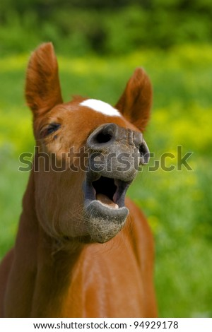 Horse with mouth open looking like. It with a very funny expression on his face as if he is laughing - stock photo