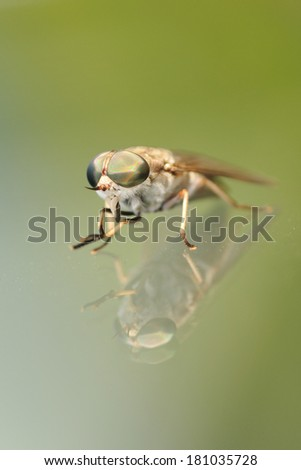 Horsefly with reflection - stock photo