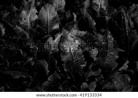 horseradish leaves black and white